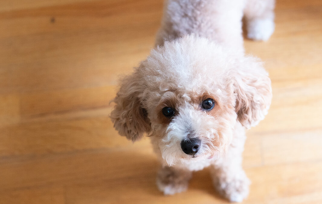 Dog with Hardwood Floor